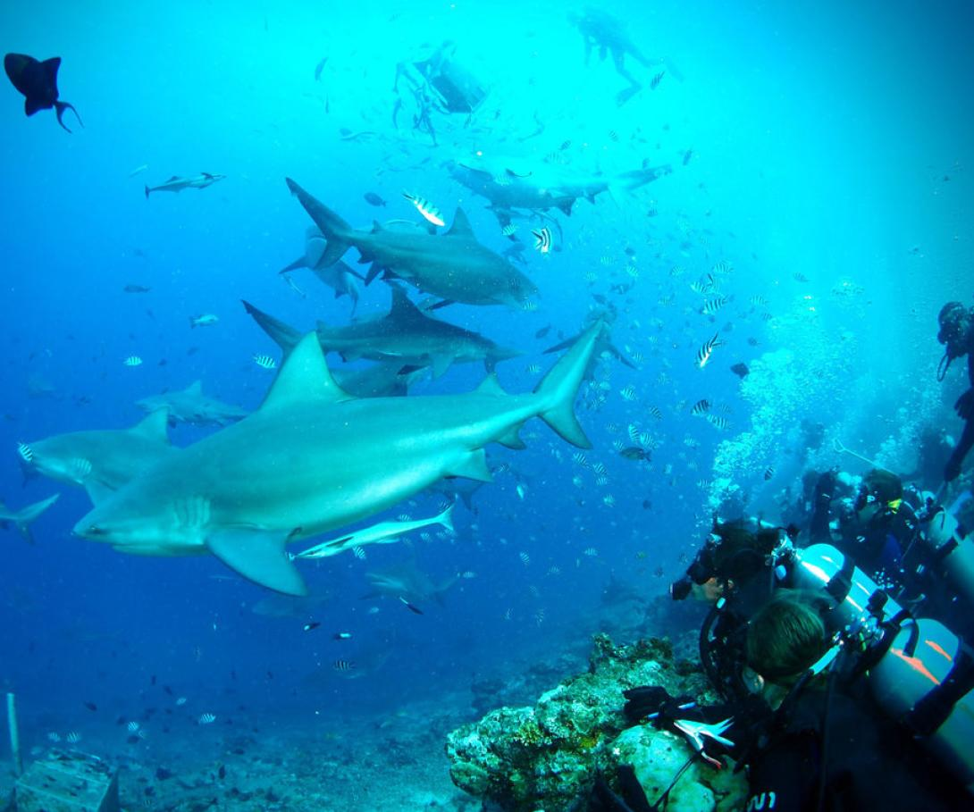 Marine Conservation volunteers observe sharks during a feed underwater in Fiji.